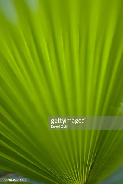 Coconut palm (Cocos nucifera) frond, close-up