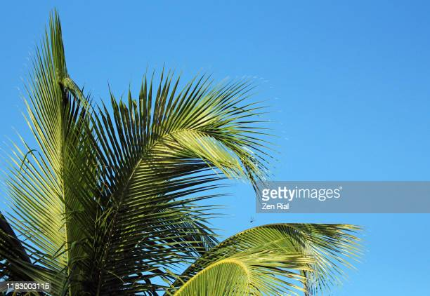 coconut palm fronds against blue sky - palm tree stock pictures, royalty-free photos & images