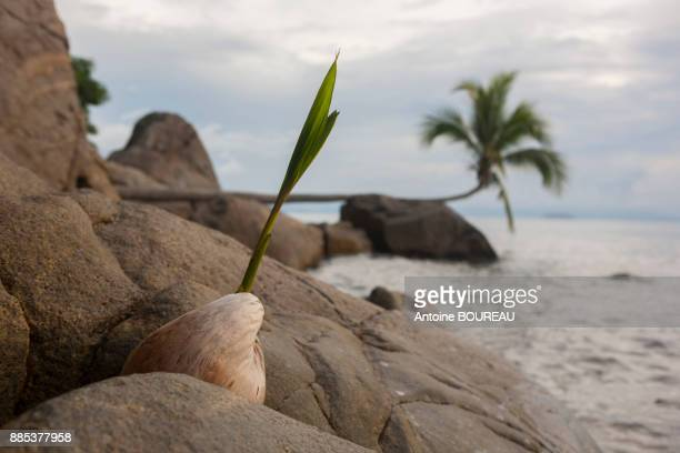 Coconut palm growing between rocks and coconut, pulau perhentian, Malaysia