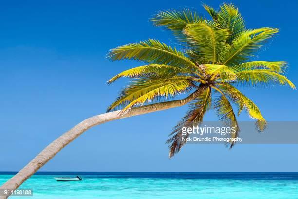 Coconut palm, Lankanfinolhu island, Maldives