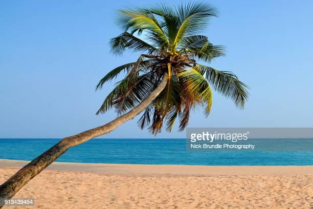 Coconut palm, Mirissa Beach, Sri Lanka