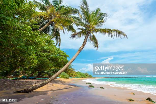 coconut palm, mirissa beach, sri lanka - coconut palm tree stock pictures, royalty-free photos & images