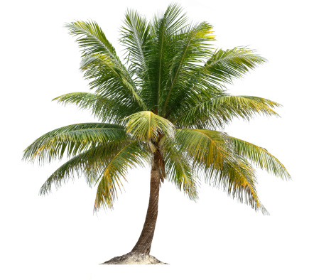 Coconut Palm 460770437