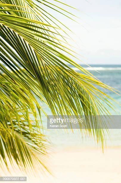 Coconut palm (Cocos nucifera) Savaii Island, Samoa, Polynesia