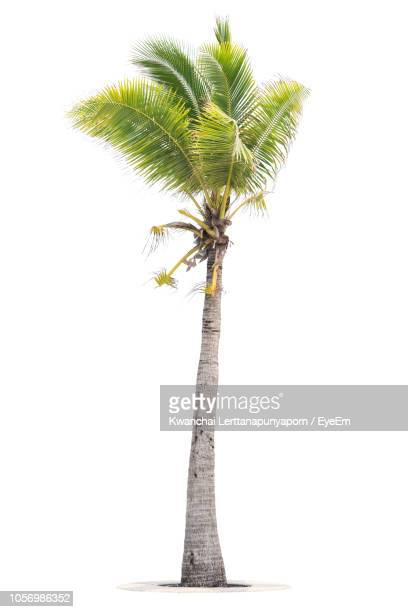 coconut palm tree against white background - coconut palm tree stock pictures, royalty-free photos & images
