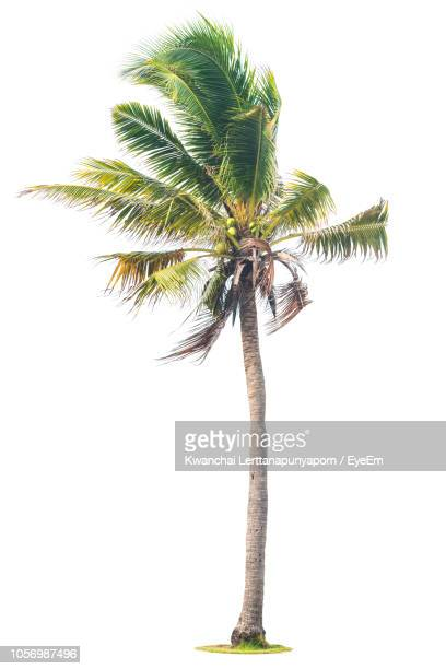coconut palm tree against white background - tropical tree stock pictures, royalty-free photos & images