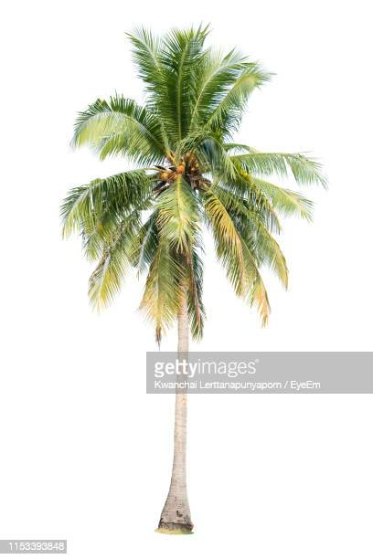coconut palm tree against white background - palm tree stock pictures, royalty-free photos & images