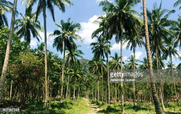 Coconut palm tree grove at Tonsai Beach, Krabi, Thailand