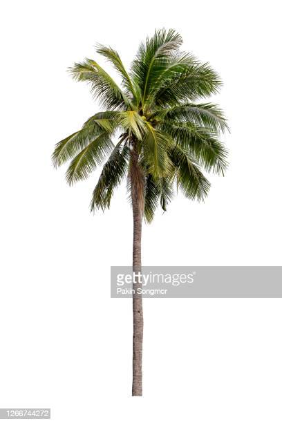 coconut palm tree isolated on white background. - palm tree stock pictures, royalty-free photos & images