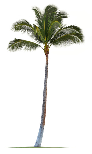 Coconut Palm Tree Isolated On White Background 185213839