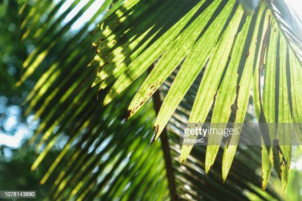coconut palm tree leaf - miragec stock pictures, royalty-free photos & images