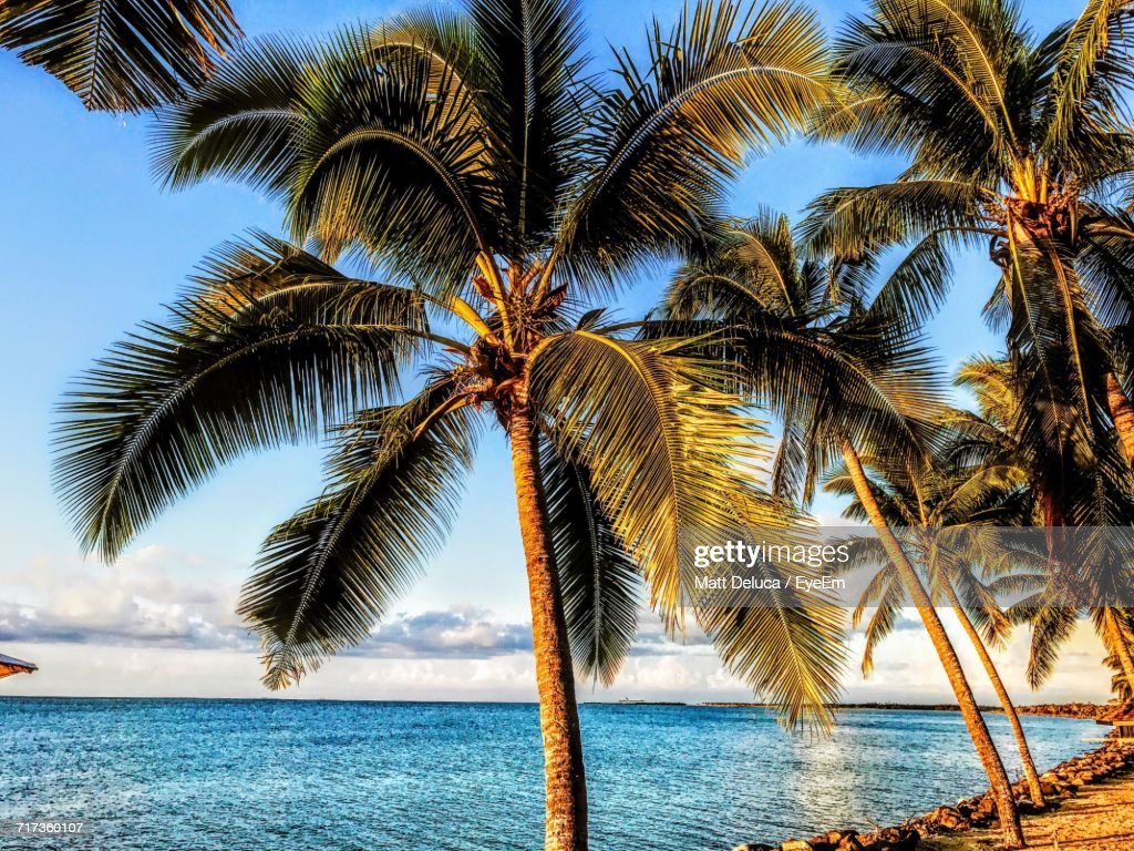 Coconut Palm Tree On Beach Against Clear Sky : Stock Photo