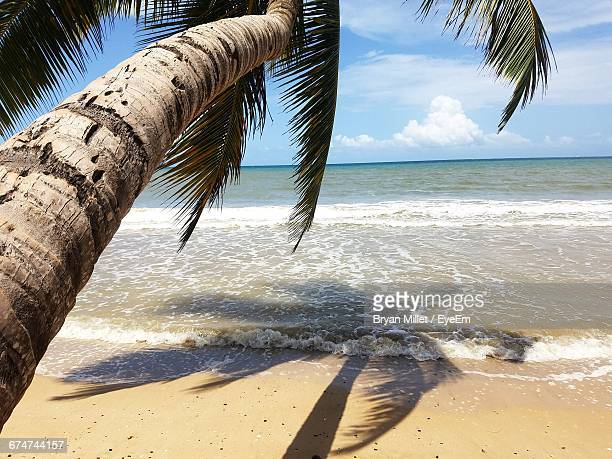 Coconut Palm Tree On Shore At Beach