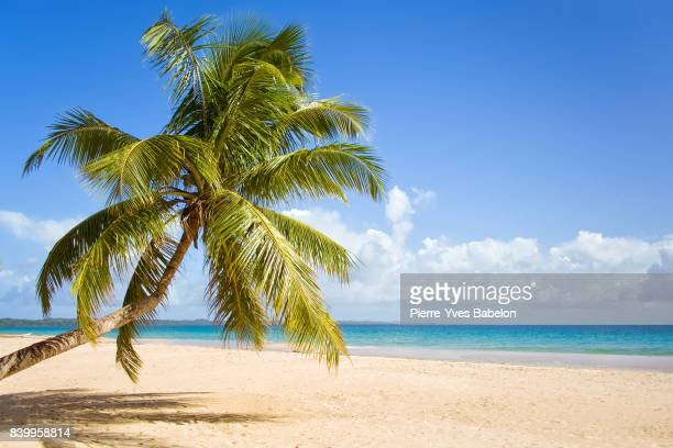 coconut palm tree - elysium stock photos and pictures
