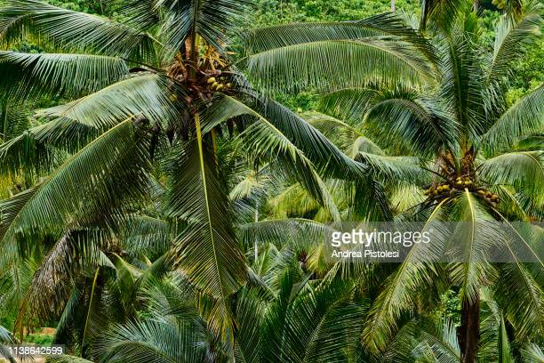 coconut palm tree plantation, sumba island, indonesia - coconut palm tree stock pictures, royalty-free photos & images