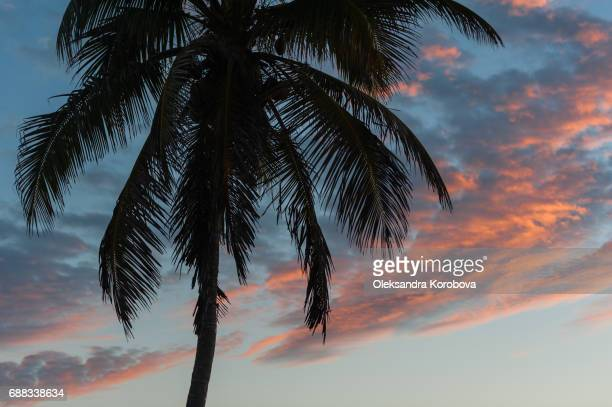 Coconut palm tree silhouette against the clouds and sky in Mexico at sunrise.