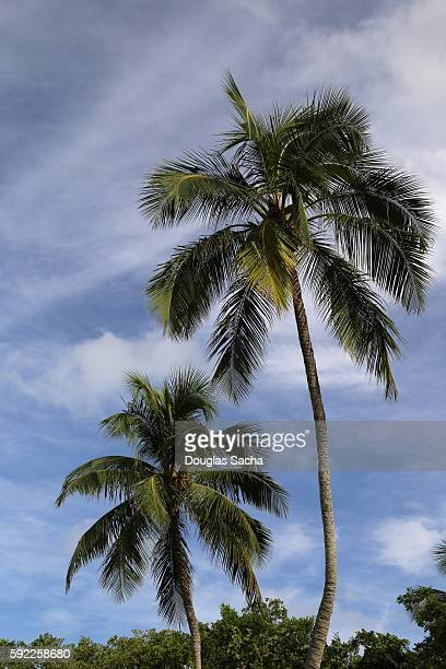 coconut palm trees (cocos_nucifera) above the sky at lovers key state recreation area, fort myers beach, florida, usa - fort myers beach stock photos and pictures