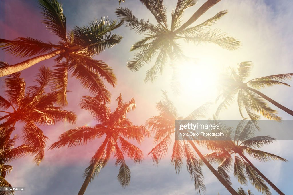 Coconut Palm Trees Against Sun : Stock Photo