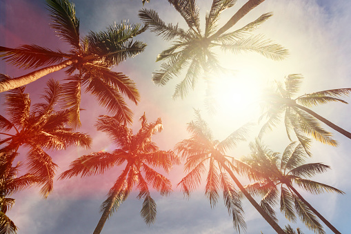 Coconut Palm Trees Against Sun - gettyimageskorea