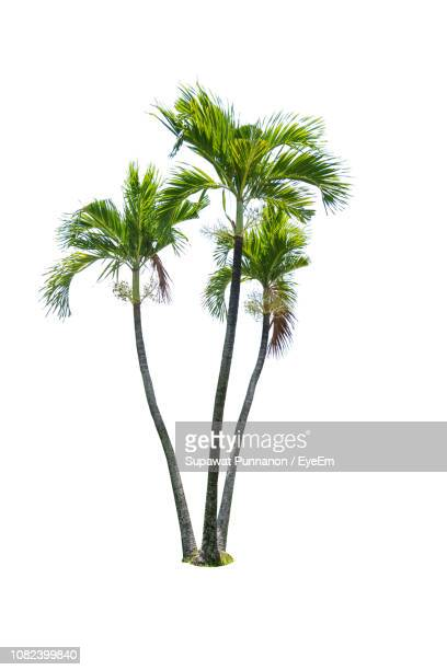 coconut palm trees against white background - palm tree stock pictures, royalty-free photos & images