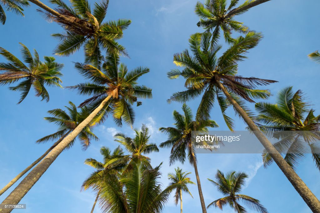 Coconut palm trees in perspective view from below : Stock Photo