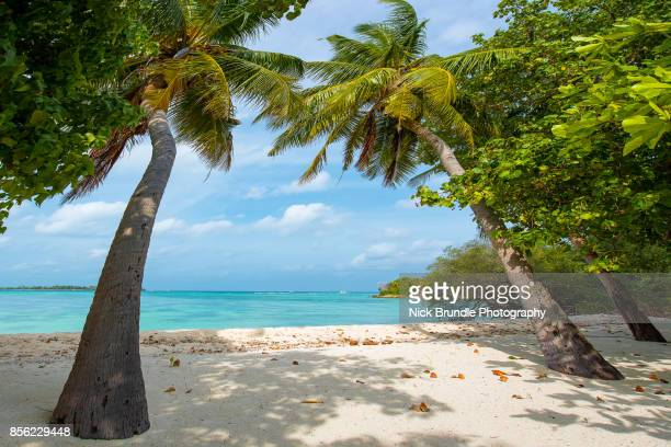 Coconut palm trees, Maldives.