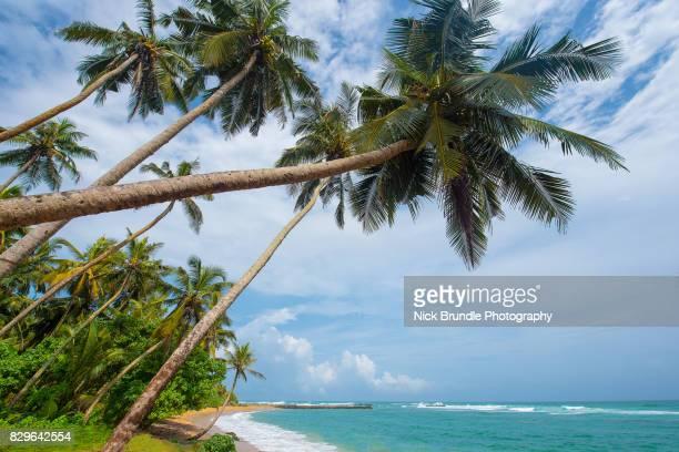 Coconut palm trees, Mirissa, Sri Lanka