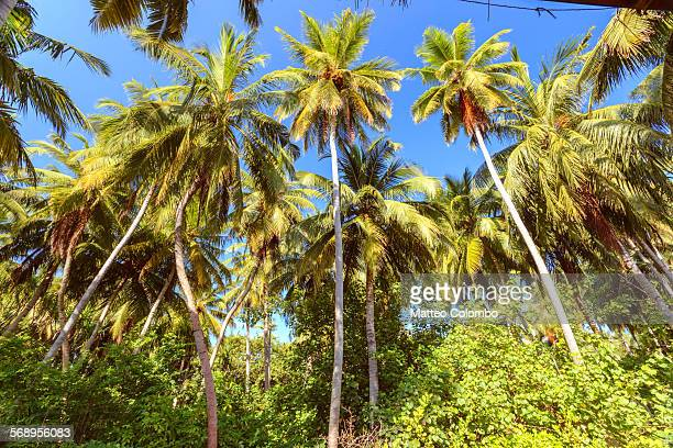 Coconut palm trees on an island, Maldives