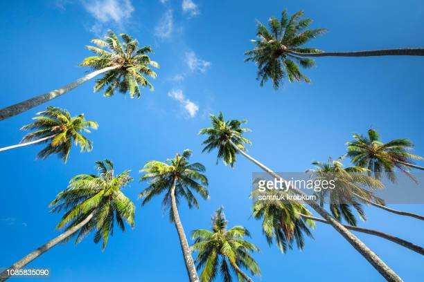coconut palm trees under blue sky - palm tree stock pictures, royalty-free photos & images