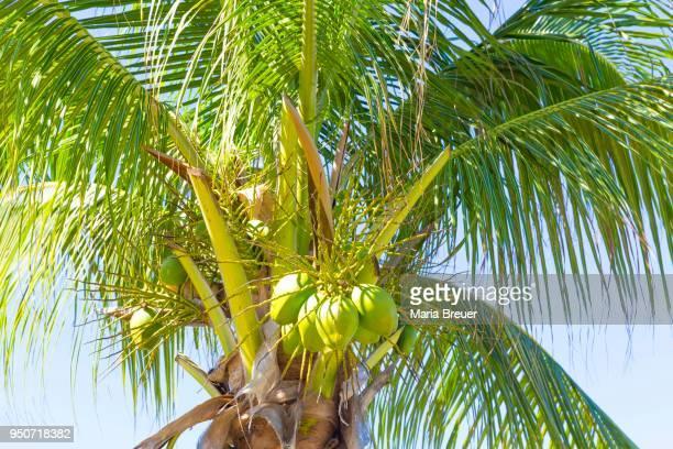 Coconut palm (Cocos nucifera) with green coconuts, Cayo Santa Maria, Cuba, Greater Antilles, Caribbean