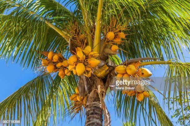 Coconut palm (Cocos nucifera) with ripe coconuts, Cayo Santa Maria, Cuba, Greater Antilles, Caribbean