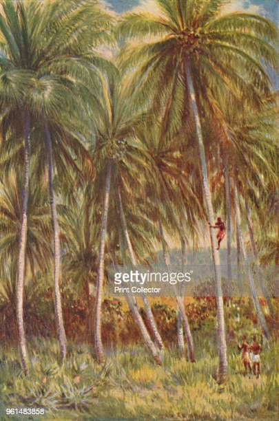 Coco-nut Palms', 1924. From The British Empire in Pictures, by H. Clive Barnard, M.A., B.Litt. [A. & C. Black, Limited, London, 1924]Artist Unknown.