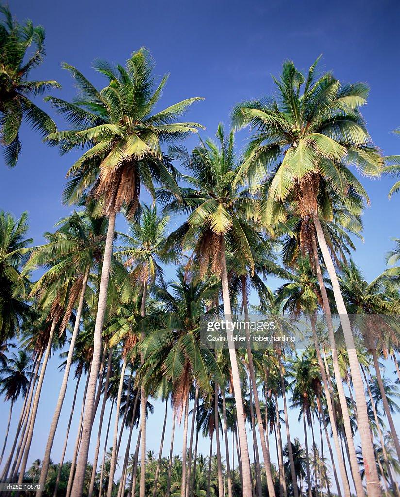 Coconut palms along the beach, Mui Ne beach, south-central coast, Vietnam, Indochina, Southeast Asia, Asia : Foto de stock