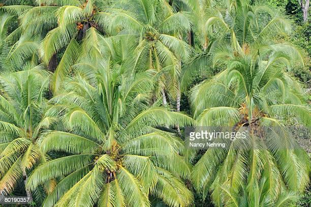 Coconut palms, Cocos nucifera, from above. Costa Rica.