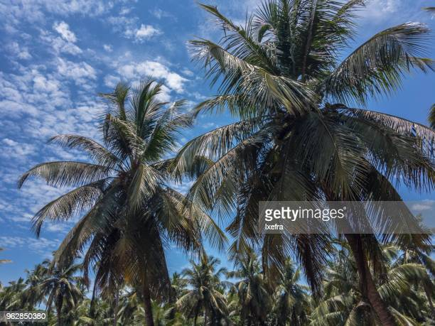 Coconut palms of a tropical region.