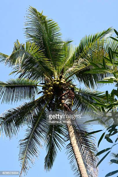 A coconut plucker climbs up coconut palms to axe mature coconuts and trim the leaves at W Goa on December 8 2016 in Goa India