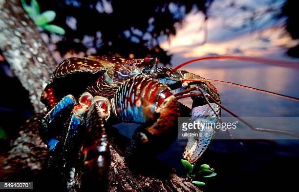 Coconut Robber Crab Birgus latro Malaysia Borneo Sabah Sipadan