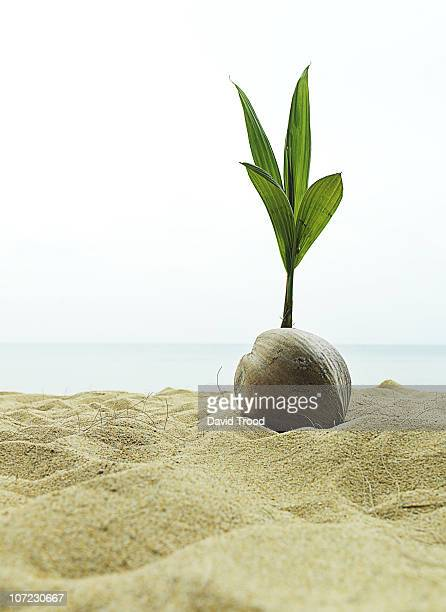 coconut seedling in Thailand.