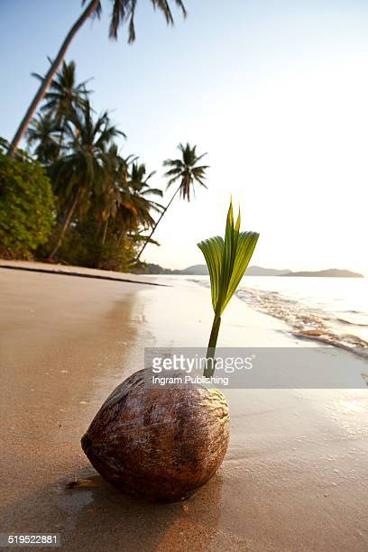 Coconut sprouting on sand