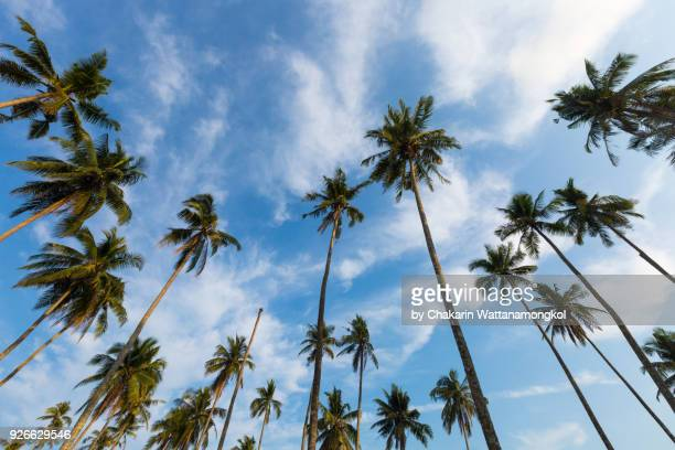 Coconut tree and sky background.