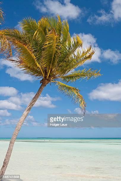 Coconut tree by sea.