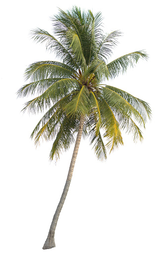 coconut tree isolated on white background 857345806