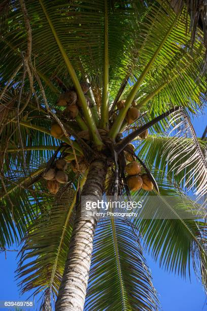 coconut tree - american samoa stock pictures, royalty-free photos & images