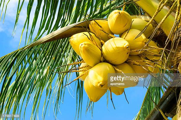 Coconut Tree with golden nuts