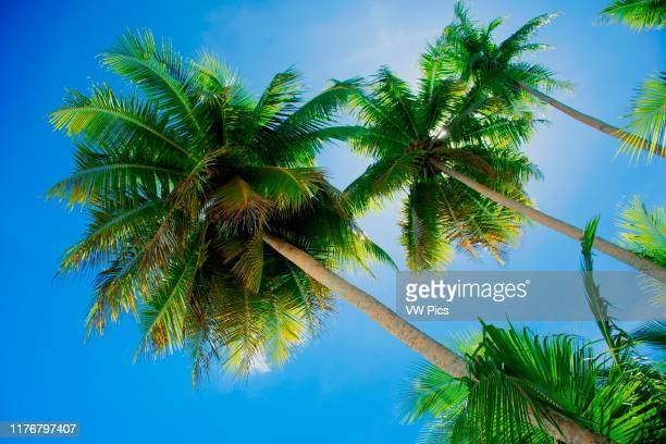 Coconut trees and blue sky. Ant Atoll. Pohnpei. Federated States of Micronesia.