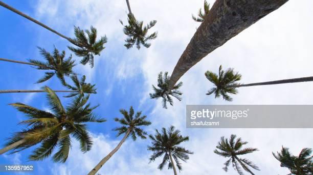 Coconut trees at Marang