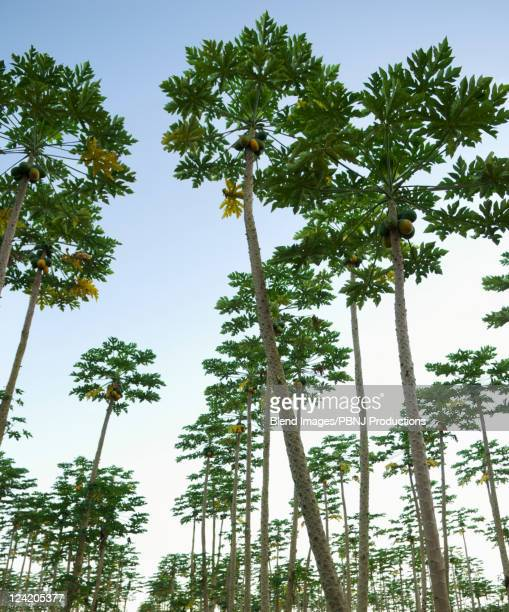 coconut trees growing in orchard - パホア ストックフォトと画像