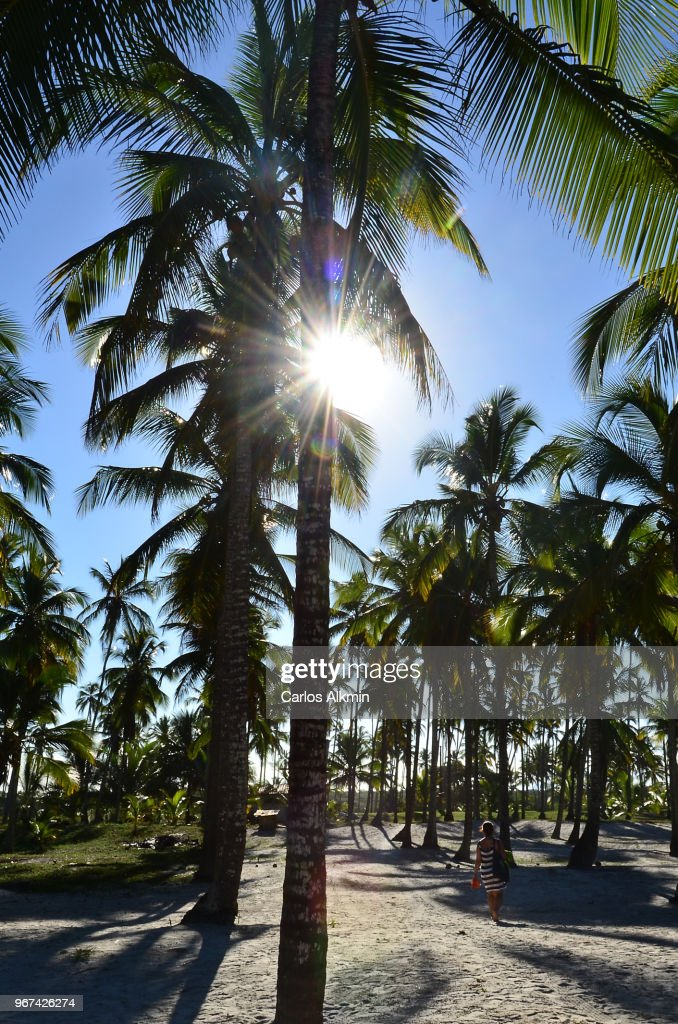 Coconut Trees in Comandatuba, Bahia : Stock Photo