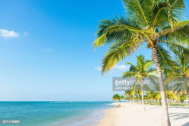 coconut trees on beach, sri lanka - palmboom stockfoto's en -beelden