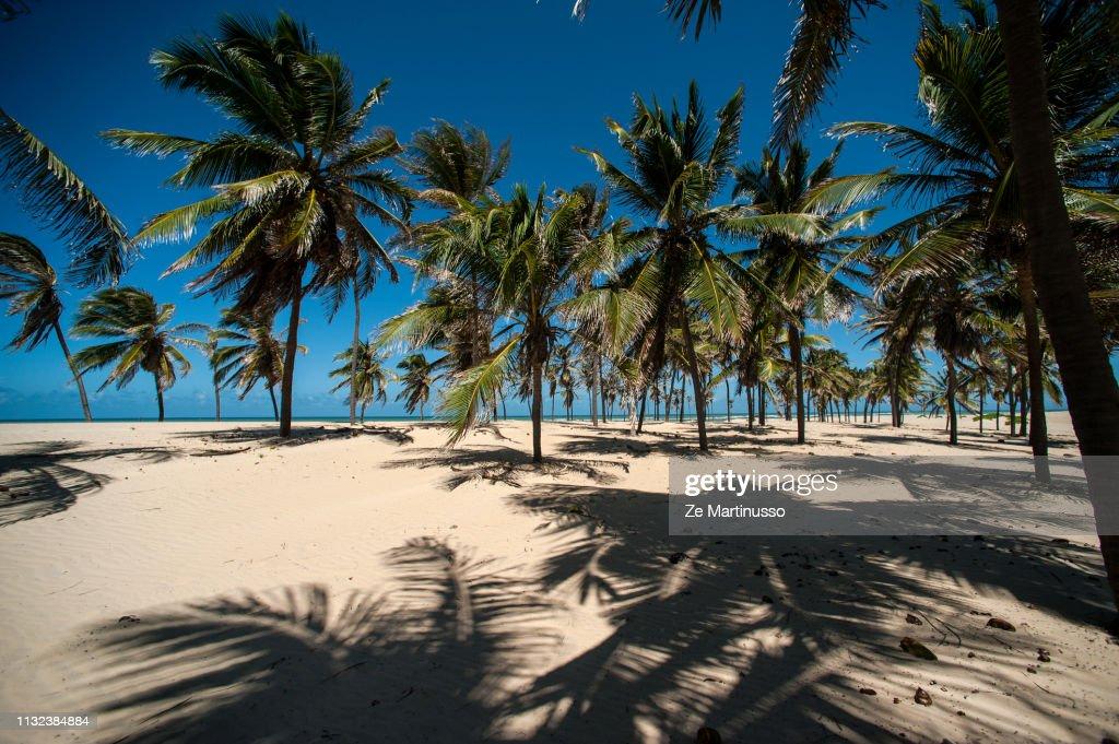 Coconut Trees : Stock Photo